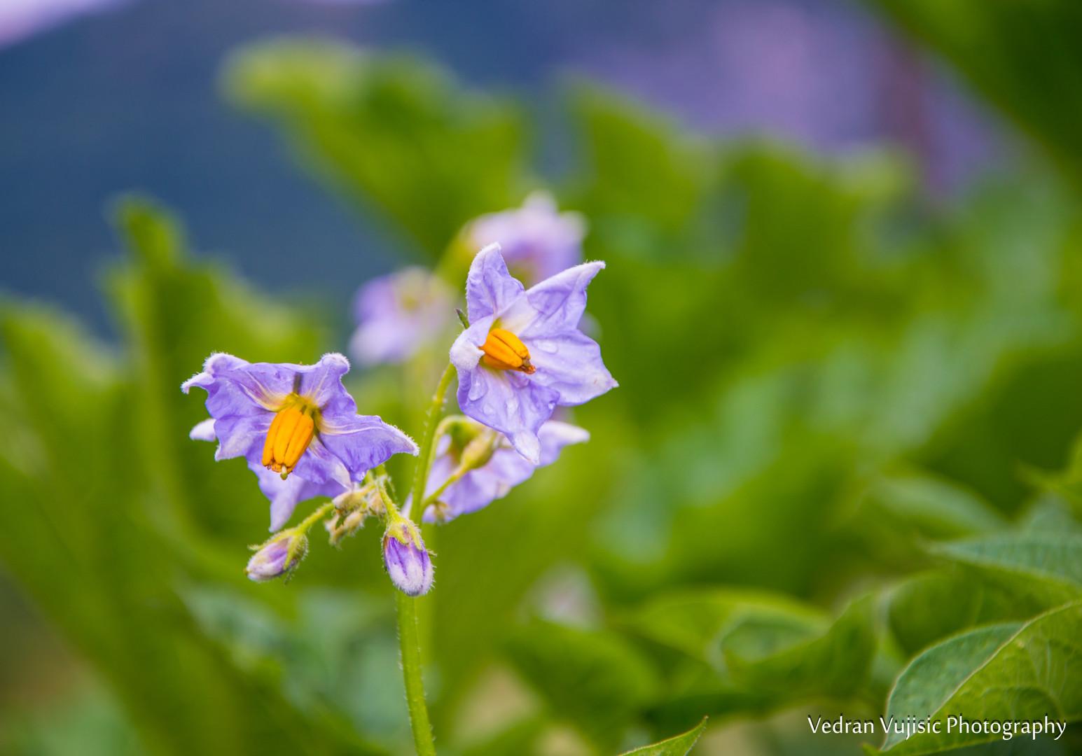 Krompirov cvijet