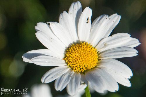 VedranMNE Cvijet