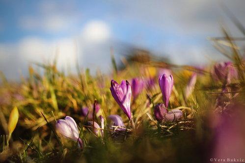 VeraBukvic Vesnik proleća