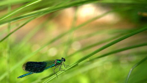 VuckoBre Dragonfly