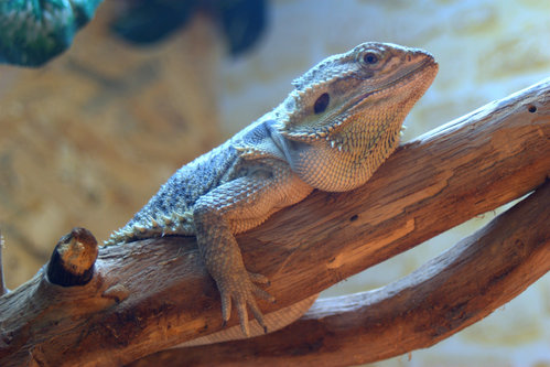VuckoBre Kameleon Rex