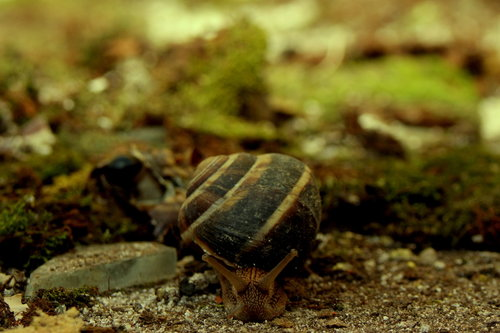 VuckoBre Bull snail