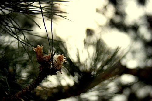 VuckoBre Pine