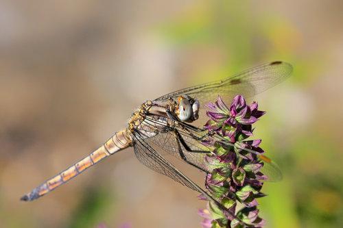 ZETOVIC Dragonfly
