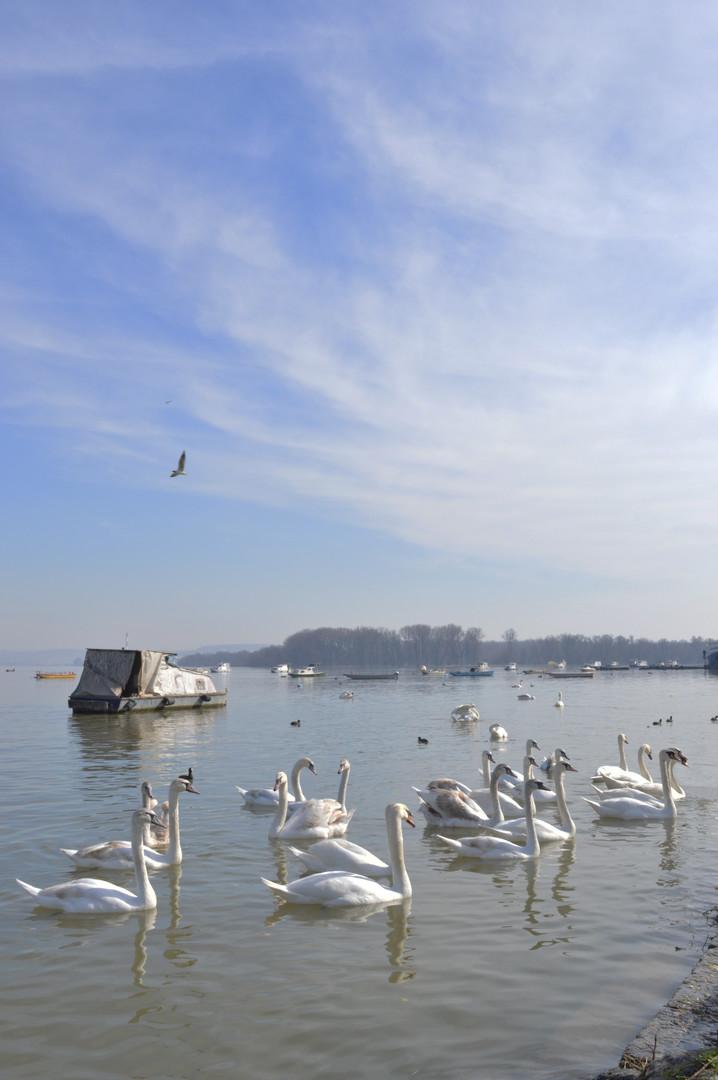 Labudovi na Dunavskom keju