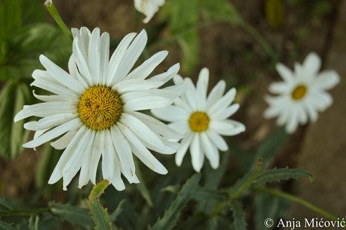 anjamicovic Cveće - 1