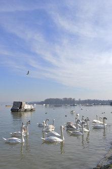 anjamicovic Labudovi na Dunavskom keju