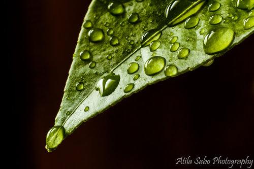 atilasabo Macro - Lemon leaf