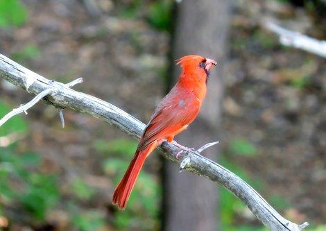 blamir Kardinal
