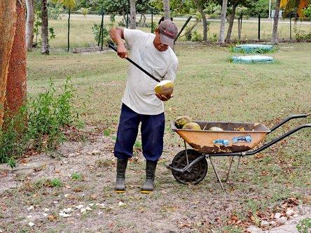 blamir Berac kokosovih oraha na Kubi