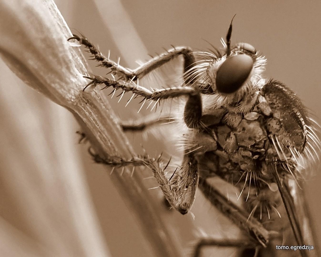 Zlatna muha