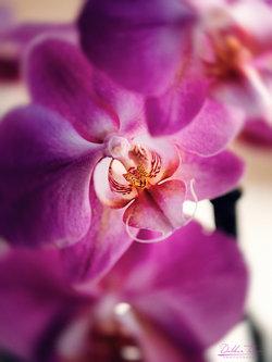 dalibort82 Love Orchid