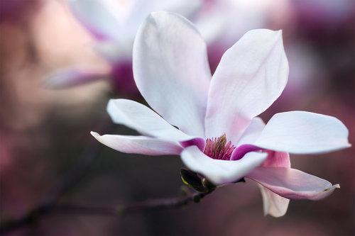 dalibort82 Magnolia
