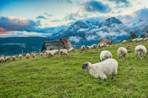 dejod Durmitorske ovčice