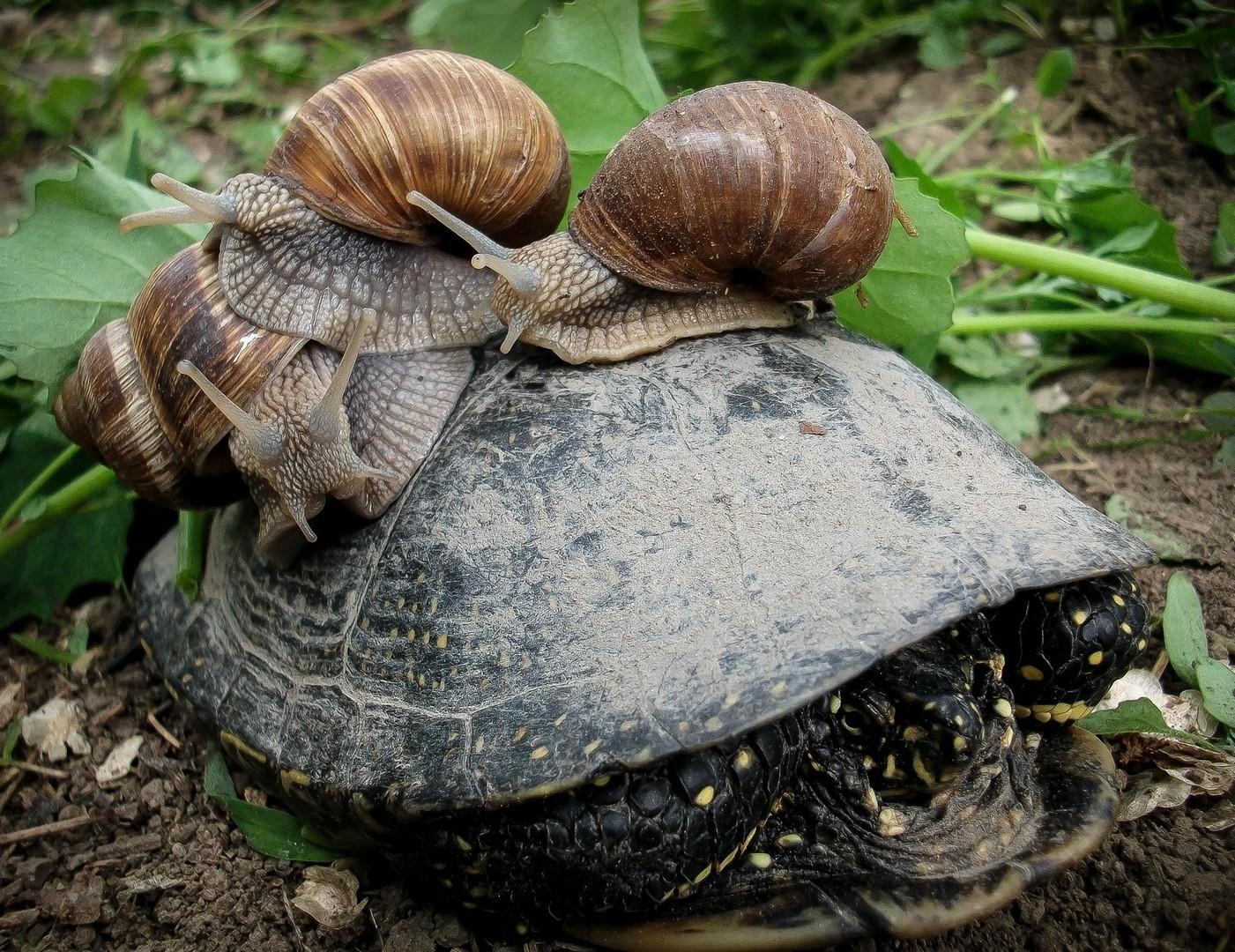 kornjača i 3 puža