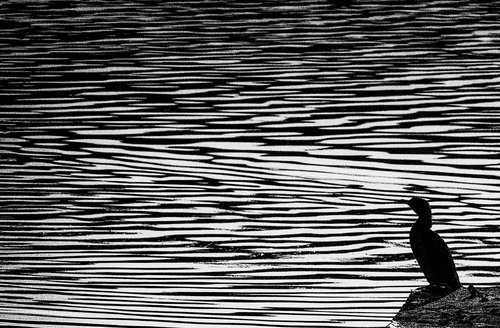 dragan kormoran