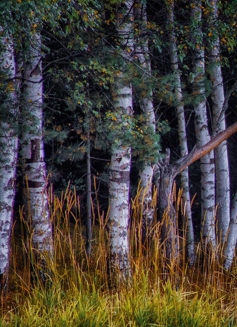 #Birch# breza#