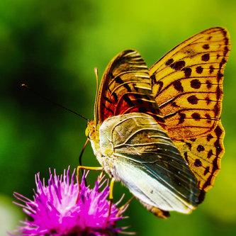dragan leptir