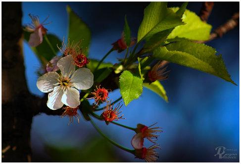 dragan trešnja u najavi