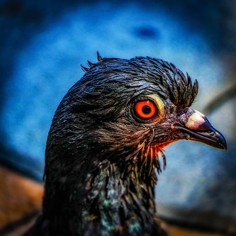 dragan golub