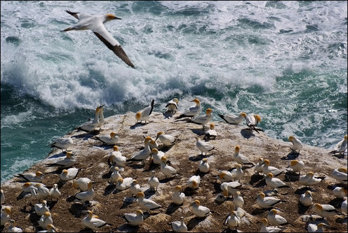 dragannz Gannets at Muriwai