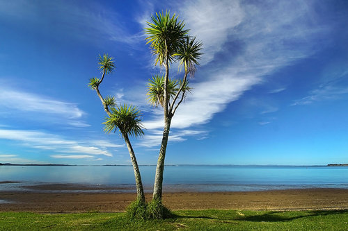 dragannz Cabbage Tree