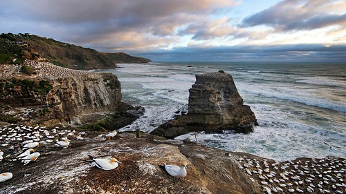 dragannz Muriwai Gannet Colony