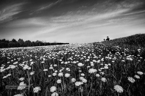dramil Field of dandelions