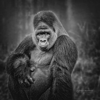 dramil Mr. Gorila