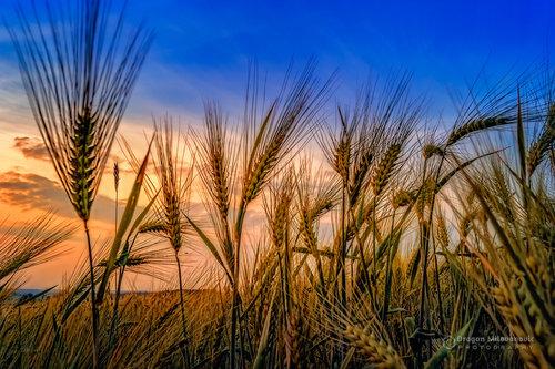 dramil Biće žita 1