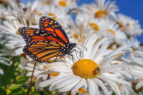 dramil Monarch