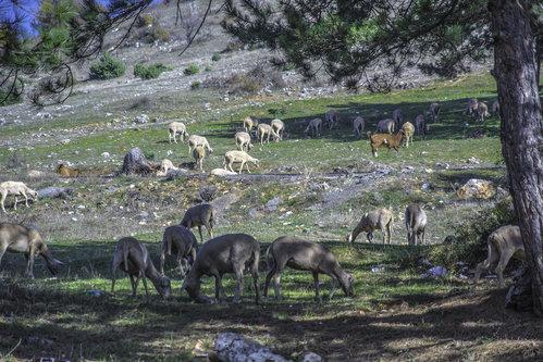 ermin1988 Ovcice