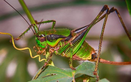 esekerri grasshopper