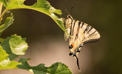 esekerri leptir