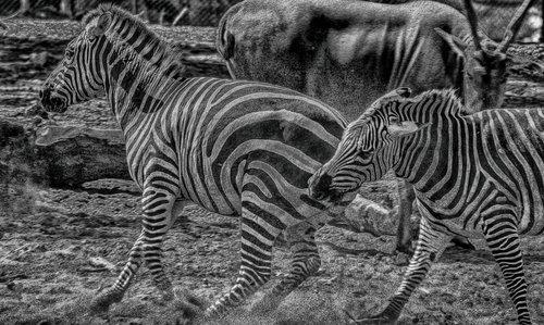 esekerri zebre