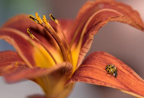 esekerri ladybug