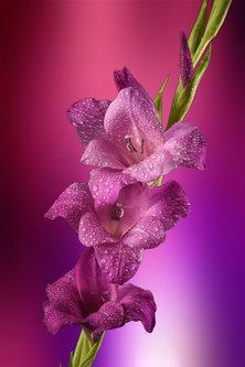 esekerri purple