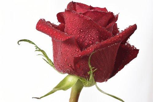 esekerri ruža i kapi