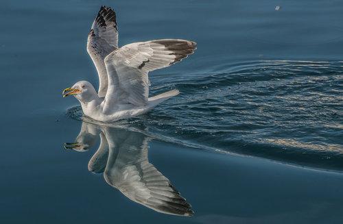 esekerri seagull