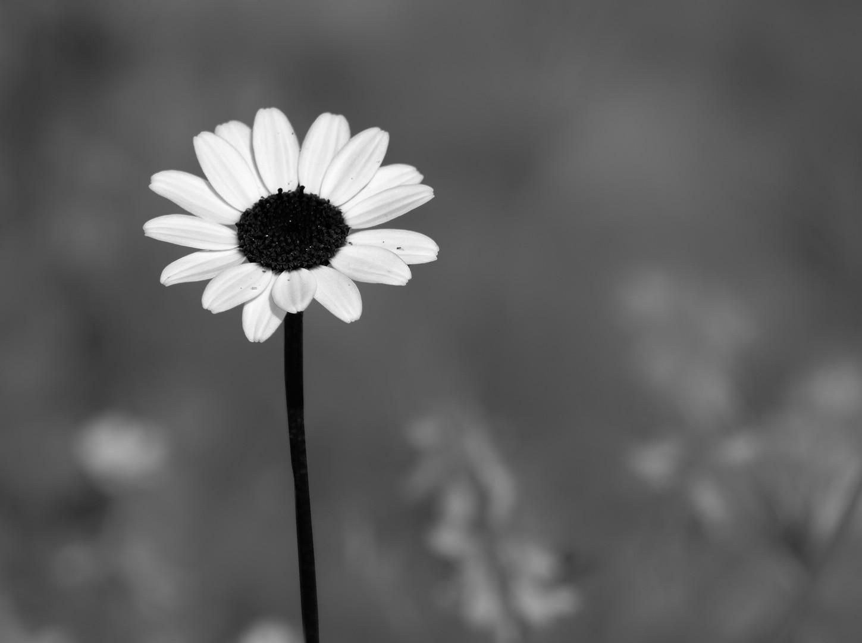 the Black Daisy