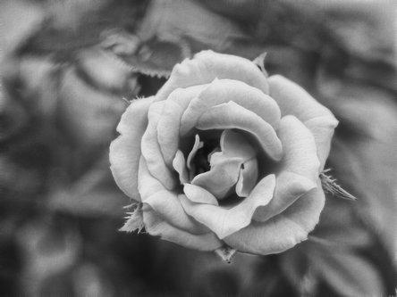 felixthecat6 Yellow Rose