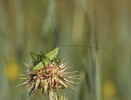 felixthecat6 Grasshopper