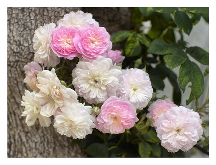 felixthecat6 Ruže za Vas