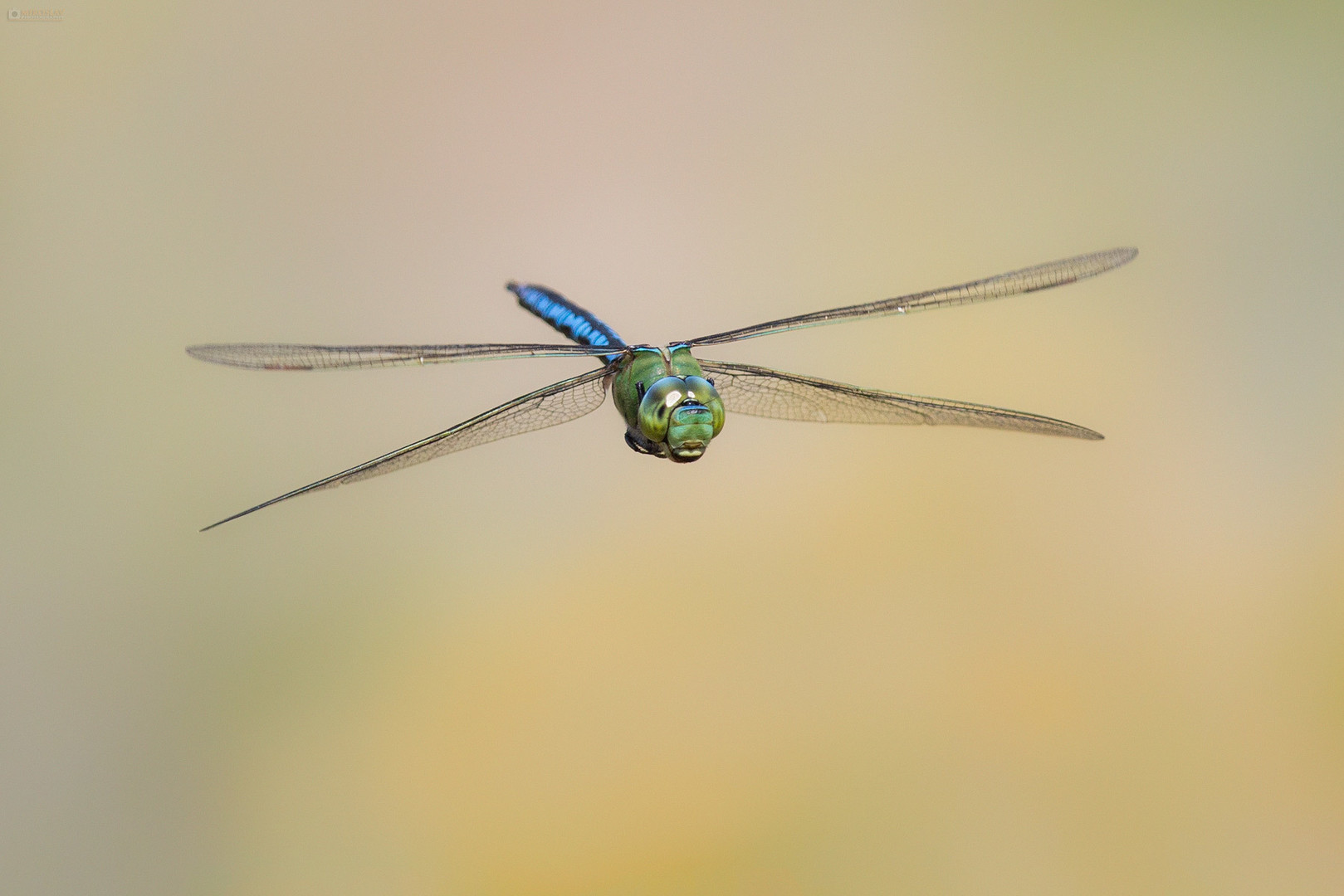 anax imperator_0193_n1