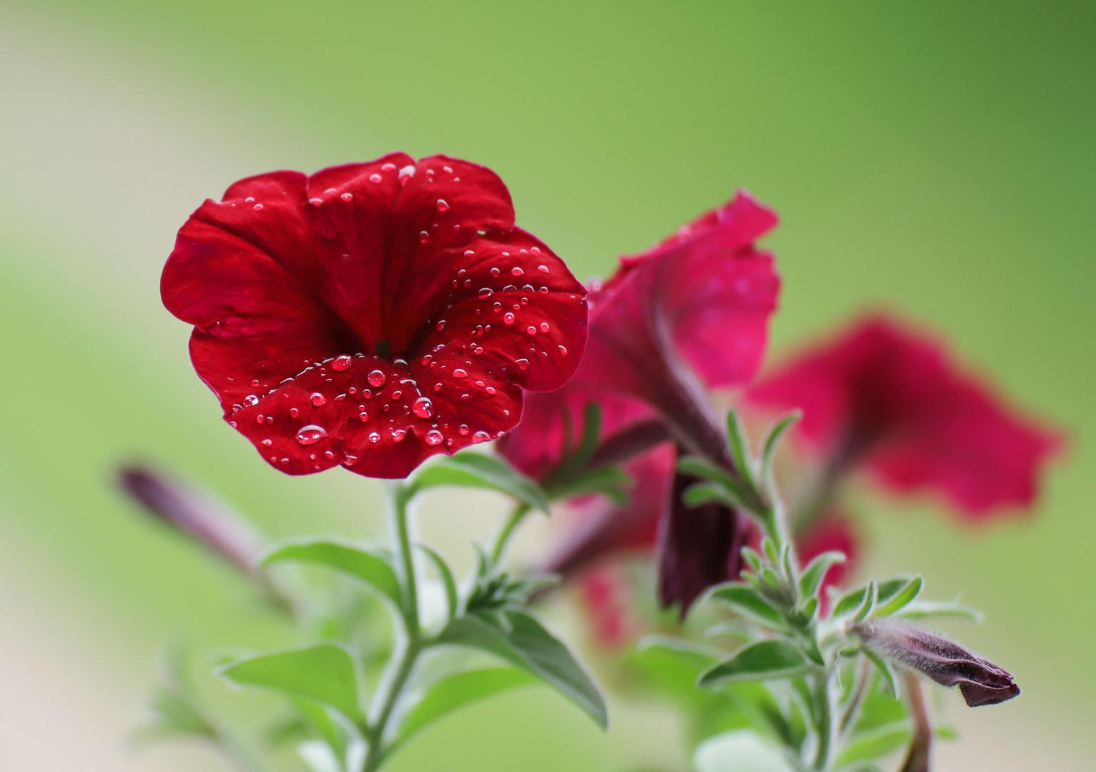 Kapi rose