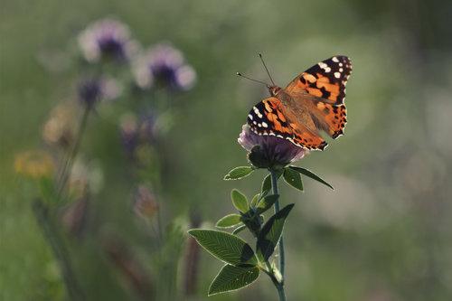 gagarose leptirko