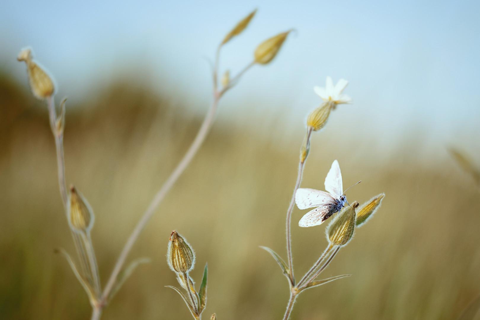 Leptirićko