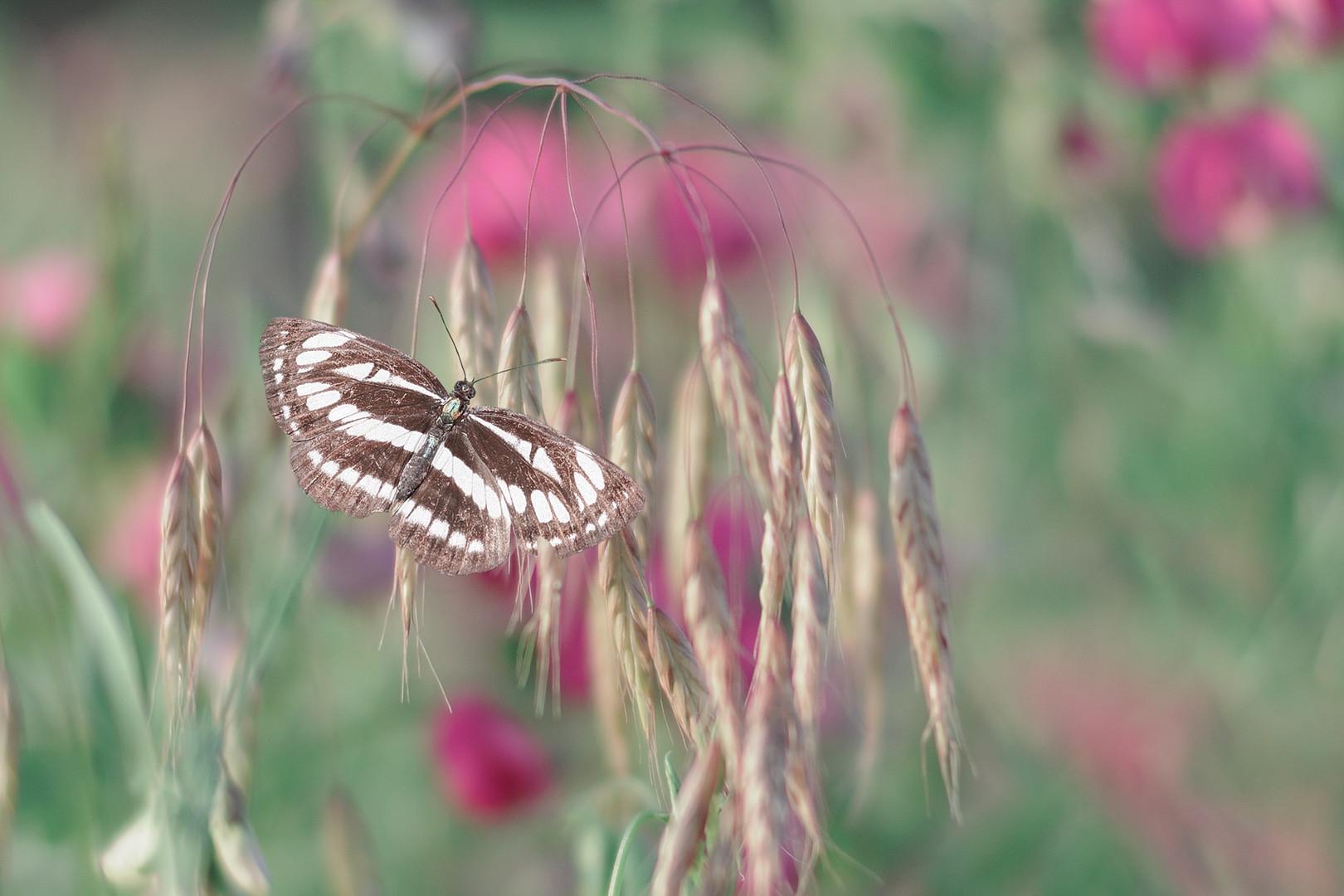 Leptirko šarenko