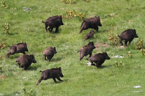 gezaIII Kuda idu divlje svinje