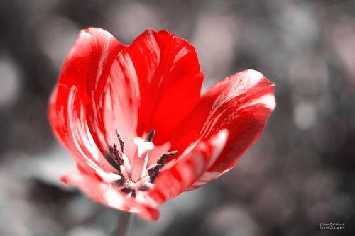 igolubovic Crveno prolece